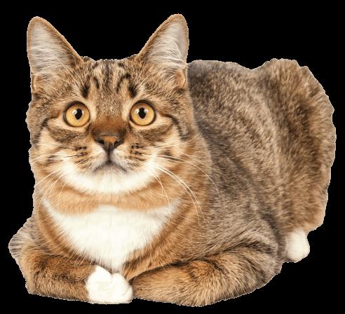 adult-cat